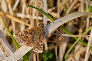 Dingy skipper (Erynnis tages) sunning on dried grasses on a chalk grassland meadow, Wiltshire, UK, April.  -  Nick Upton