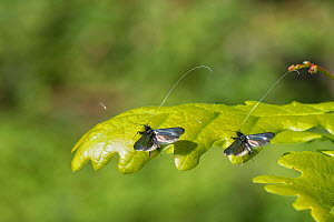Two Green fairy longhorn moth (Adela viridella / Adela reaumurella) males resting on English Oak (Quercus robur) tree leaves between bouts of aerial dancing in a group courtship display, Bath and Nort...  -  Nick Upton