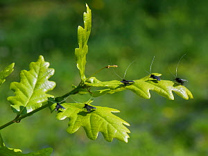 Green fairy longhorn moth (Adela viridella / Adela reaumurella) males clustered on English Oak (Quercus robur) tree leaves between bouts of aerial dancing in a group courtship display, Bath and Northe...  -  Nick Upton