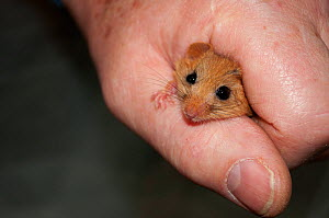 Hazel dormouse (Muscardinus avellanarius) held in hand during weighing, part of dormouse box checks to monitor dormouse populations. Kent. October.  -  David Tipling