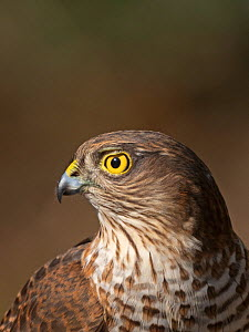 Eurasian sparrowhawk (Accipiter nisus) juvenile male, portrait. North Norfolk, England, UK. February.  -  David Tipling