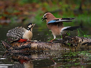 Eurasian jay (Garrulus glandarius) confronting Great spotted woodpecker (Dendrocopos major), on log in pool. North Norfolk, England, UK. January.  -  David Tipling
