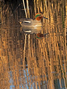 Common teal (Anas crecca) male in reedbed, reflected in water. Cley, Norfolk, England, UK. February.  -  David Tipling