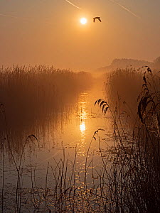 Bird flying over reedbed at dawn, sun reflected in water. Main drain, Cley Marshes, Norfolk Wildlife Trust Reserve, England, UK. April.  -  David Tipling
