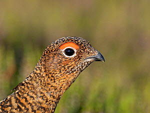 Red grouse (Lagopus lagopus) female, portrait. Grinton Moor, above Swaledale, Yorkshire Dales National Park, England, UK. July.  -  David Tipling