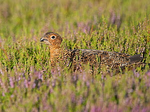 Red grouse (Lagopus lagopus) female amongst flowering Heather. Grinton Moor, above Swaledale, Yorkshire Dales National Park, England, UK. July.  -  David Tipling