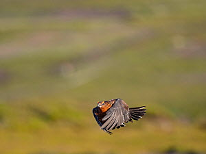 Red grouse (Lagopus lagopus) male in flight. Grinton Moor, above Swaledale, Yorkshire Dales National Park, England, UK. July.  -  David Tipling
