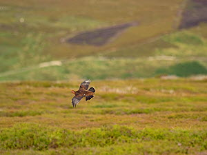 Red grouse (Lagopus lagopus) male in flight over grouse moor. Grinton Moor, above Swaledale, Yorkshire Dales National Park, England, UK. July.  -  David Tipling