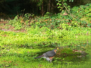 Sparrowhawk (Accipiter nisus) male bathing in woodland pool. Norfolk, England, UK. October.  -  David Tipling