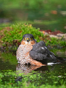 Eurasian sparrowhawk (Accipiter nisus) male bathing in pool. North Norfolk, England, UK. October.  -  David Tipling