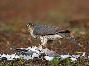 Eurasian sparrowhawk (Accipiter nisus) female feeding on Wood pigeon (Columba palumbus) prey. North Norfolk, England, UK. January.  -  David Tipling