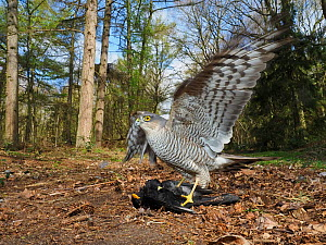Eurasian sparrowhawk (Accipiter nisus) female standing on male Blackbird (Turdus merula) prey in woodland. North Norfolk, England, UK. April.  -  David Tipling