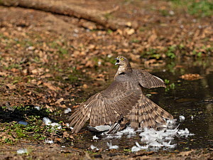 Eurasian sparrowhawk (Accipiter nisus) juvenile male mantling Wood pigeon (Columba palumbus) prey and vocalising in reaction to arrival of female. North Norfolk, England, UK. April.  -  David Tipling