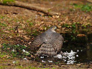 Eurasian sparrowhawk (Accipiter nisus) female mantling prey. North Norfolk, England, UK. April.  -  David Tipling