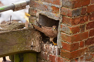Kestrel (Falco tinnunculus) female nesting in old chimney. Norfolk, England, UK. June.  -  David Tipling