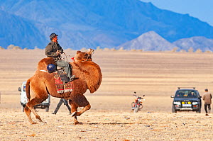 Man riding Bactrian camel (Camelus bactrianus) across steppe, vehicles and Altai Mountains in background. Near Bayan-Ugli, Western Mongolia. October 2008.  -  David Tipling