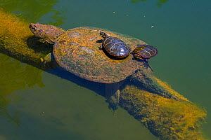 Painted turtle (Chrysemys picta), two basking on back of Snapping turtle (Chelydra serpentina). Maryland, USA. May.  -  John Cancalosi