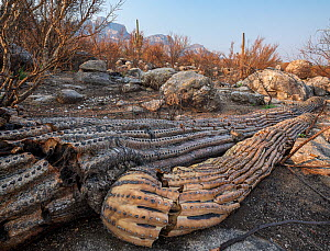 Saguaro (Carnegiea gigantea) cacti burnt and toppled by Big Horn Fire, a wildfire caused by a lightning strike on 5th June 2020 burnt for six weeks engulfing 120,000 acres of Sonoran Desert. Catalina...  -  Jack Dykinga