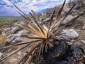 Sotol (Dasylirion sp) with base burnt by Big Horn Fire, a wildfire caused by a lightning strike on 5th June 2020. The fire burnt for six weeks engulfing 120,000 acres of Sonoran Desert. Catalina State...  -  Jack Dykinga