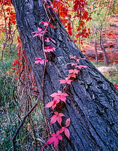 Virginia creeper (Parthenocissus quinquefolia) climbing up trunk of Fremont's cottonwood (Populus fremontii). Coyote Gulch, Escalante, Glen Canyon National Recreation Area, Utah, USA. October 1995...  -  Jack Dykinga