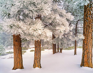 Ponderosa pine (Pinus ponderosa) forest, trees covered in hoar frost after winter storm. Bryce Canyon National Park, Utah, USA. February 1999.  -  Jack Dykinga
