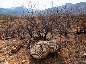 Barrel cactus (Ferocactus wislizeni) charred by Big Horn Fire, a wildfire caused by a lightning strike on 5th June 2020 which burnt for six weeks engulfing 120,000 acres of Sonoran Desert. Catalina St...  -  Jack Dykinga