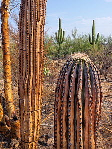 Saguaro (Carnegiea gigantea) charred by Big Horn Fire, a wildfire caused by a lightning strike on 5th June 2020 which burnt for six weeks engulfing 120,000 acres of Sonoran Desert. Catalina State Park...  -  Jack Dykinga