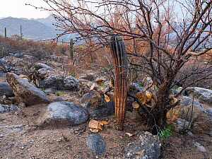 Saguaro (Carnegiea gigantea) charred by Big Horn Fire, a wildfire caused by a lightning strike on 5th June 2020 burnt for six weeks engulfing 120,000 acres of Sonoran Desert. Catalina State Park, Ariz...  -  Jack Dykinga