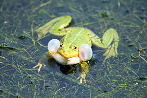 Edible frog (Rana esculenta), male in pond croaking, vocalising, calling with vocal sacs inflated, France  -  Eric Baccega