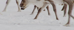 Reindeer (Rangifer tarandus) herd legs and hooves as they move over snow in search of food, Finland, April.  -  Dietmar Nill