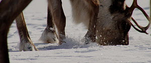 Reindeer (Rangifer tarandus) moving snow with its hoof to find food and feed, Finland, April.  -  Dietmar Nill