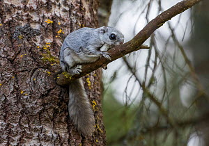 Siberian flying squirrel (Pteromys volans), on branch, Lapua Finland, April. Note flat tail which helps steer when flying  -  Benjam Pontinen