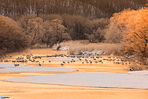 River with flock of Red crowned cranes (Grus japonensis) Hokkaido, Japan  -  Aflo