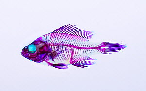 False colour x-ray of Bluegill (Lepomis macrochirus) fish skeleton  -  Aflo