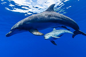 Indo-Pacific bottlenose dolphin (Tursiops aduncus) with calf, Ogasawara Island, Japan. Pacific ocean.  -  Aflo
