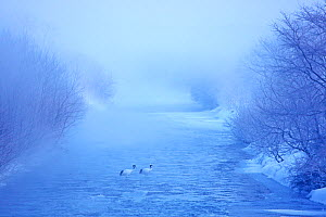 Red crowned crane (Grus japonensis) in river on misty morning, Hokkaido, Japan  -  Aflo