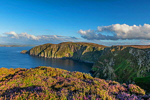 Common heather (Calluna vulgaris) flowering on cliff top at Croaghnmaddy in evening light. View along coastline to Traghlisk Point, Horn Head, County Donegal, Ireland. August 2020.  -  Robert  Thompson