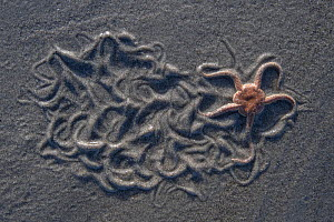 Brittlestar (Ophiura ophiura) washed up on sand beach, Bay of Somme, France, February.  -  Fabrice Cahez