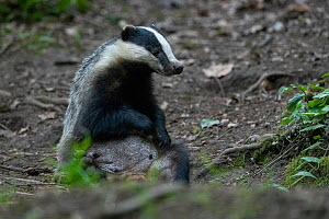 Badger (Meles meles) sitting up while grooming, Vosges, France, May.  -  Fabrice Cahez