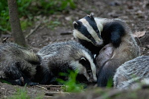 Badgers (Meles meles) interacting, Vosges, France, May.  -  Fabrice Cahez