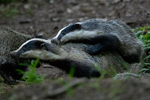 Badger (Meles meles) outisde sett interacting, Vosges, France, May.  -  Fabrice Cahez