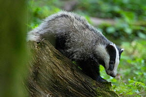 Badger (Meles meles) Vosges, France, May.  -  Fabrice Cahez