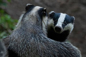 Badger (Meles meles) two outside sett interacting, Vosges, France, May.  -  Fabrice Cahez
