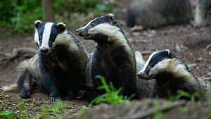Badgers (Meles meles) at sett entrance, interacting, Vosges, France, May.  -  Fabrice Cahez