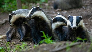 Badgers (Meles meles) at sett entrnce, interacting, Vosges, France, May.  -  Fabrice Cahez