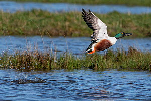 Northern shoveler (Spatula clypeata) taking off, Vendee, France, March.  -  Fabrice Cahez