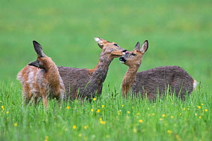Roe deer (Capreolus capreolus) does grooming each other, Vosges, France  -  Fabrice Cahez