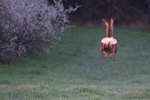 Roe deer (Capreolus capreolus) doe, leaping whilst running away, rear view, Vosges, France  -  Fabrice Cahez