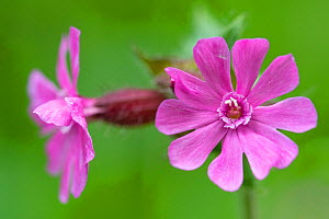 Red campion (Silene dioica) in flower, France, May.  -  Fabrice Cahez