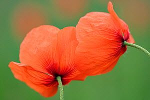 Poppies (Papaver rhoeas) two flowers viewed from the underside. France. May.  -  Fabrice Cahez